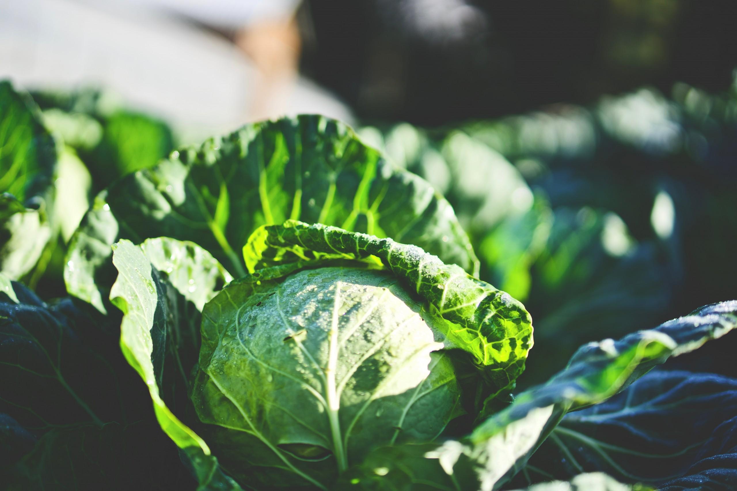 Lettuce growing in garden.