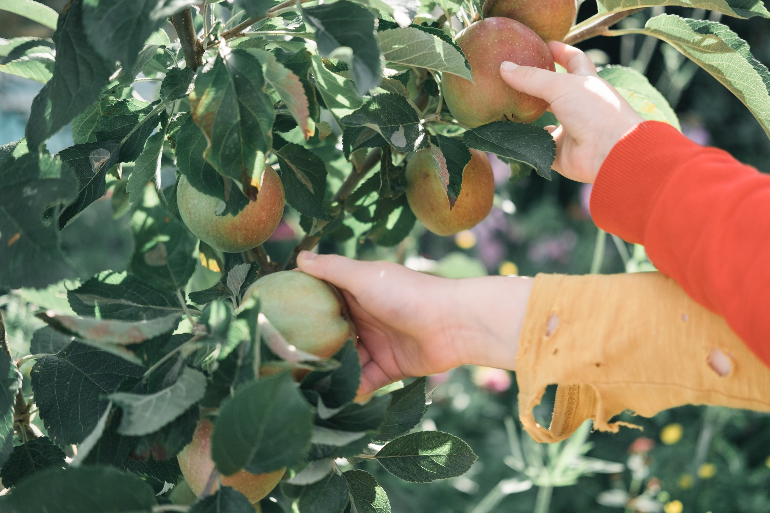 Two arms picking apples off of tree.