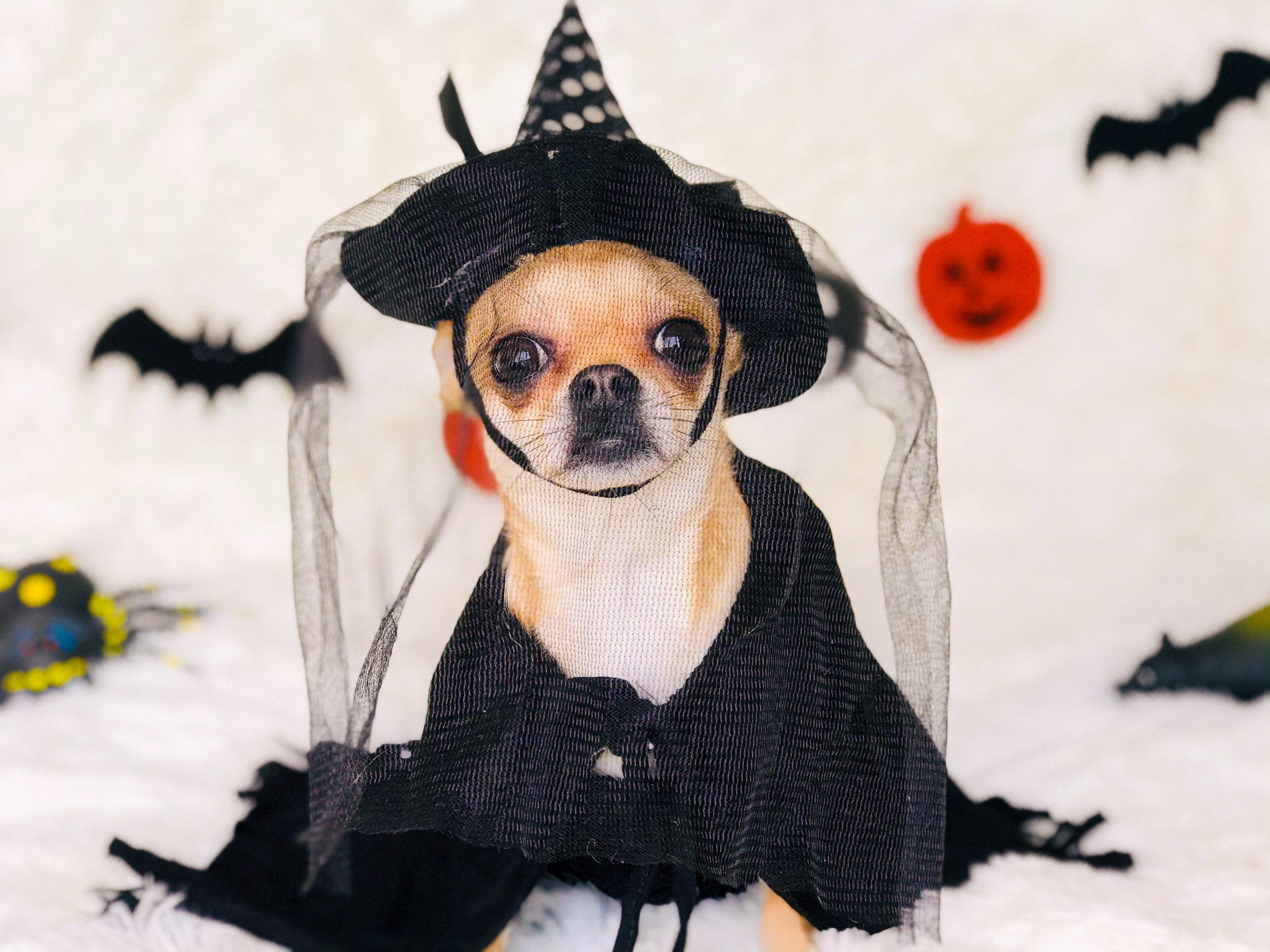 Chihuahua wearing witch costume.