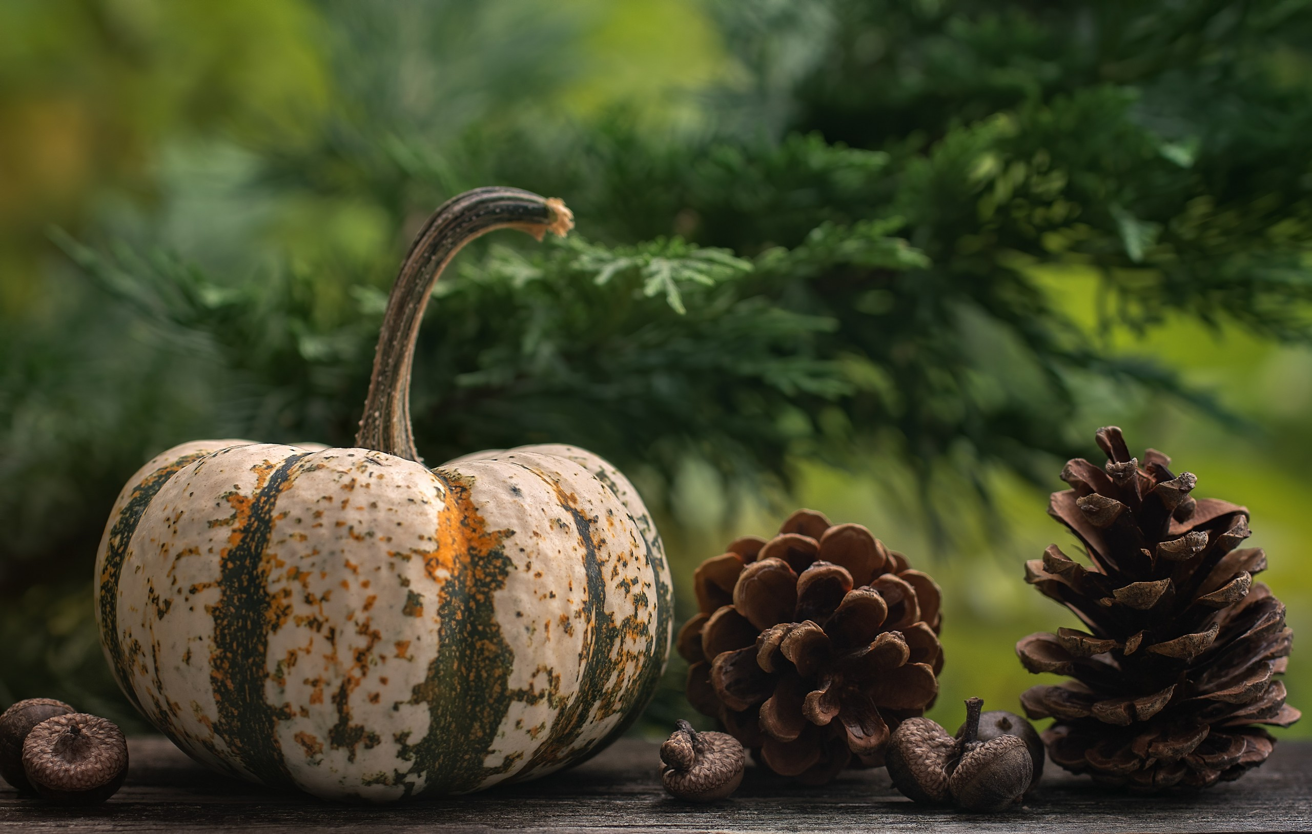 White and green striped mini pumpkin next to pine cones with pine tree in background.